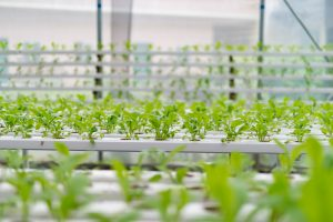 Hydroponic Food To FIght Food Insecurity